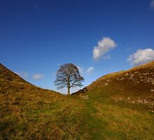 Sycamore Tree at Sycamore Gap - Northumberland by Paul Bettison