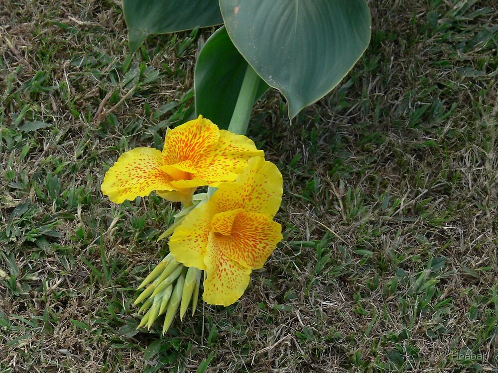 Lovely Leopard spotted Canna Lilly by Heabar