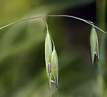 Weeping Grass by Lesley Smitheringale
