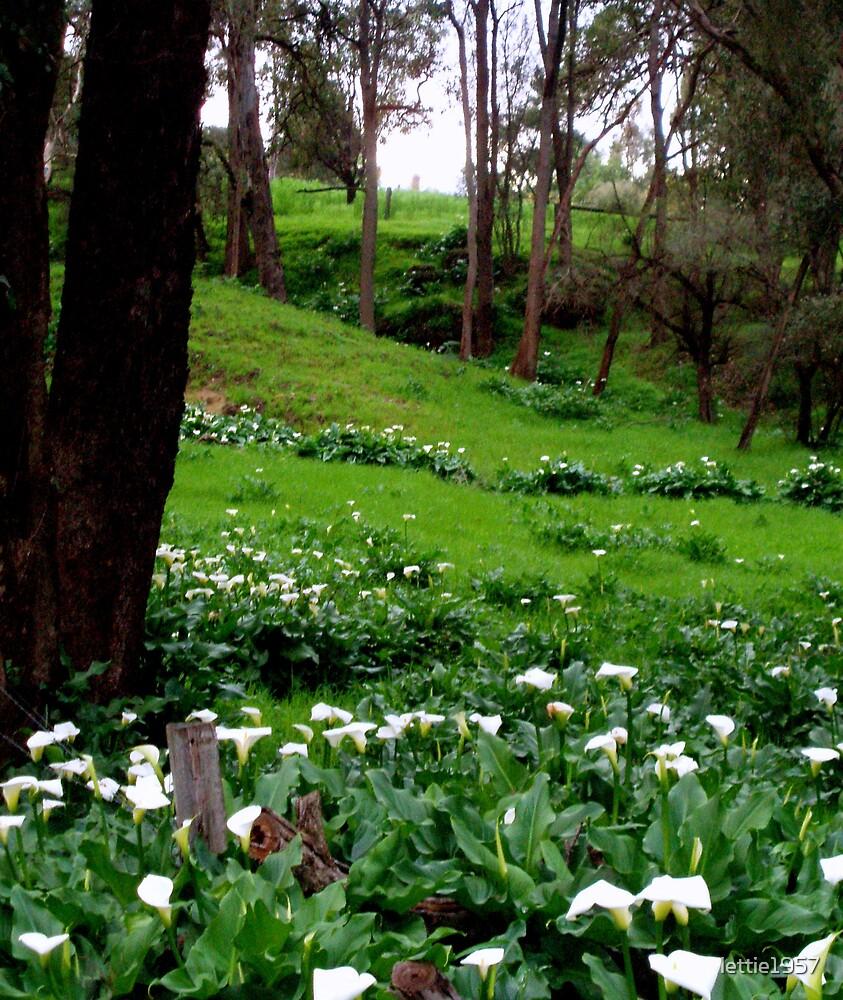 Field of Arum Lilies - Western Australia by lettie1957