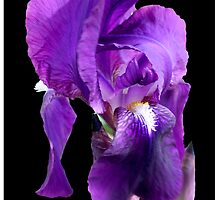 Purple iris by Kath Gillies