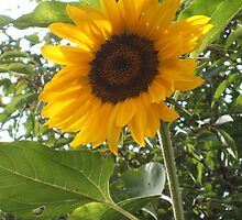 Sunflower by Hayley Walker