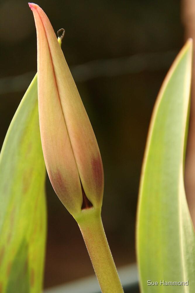 Tulip bud by Sue Hammond