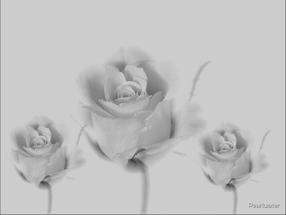 Romantic roses by Chris Quinlan