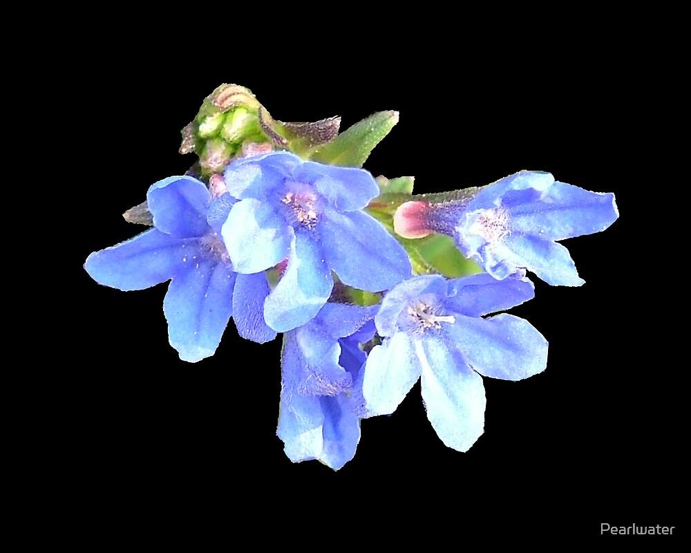 Blue lobelia by Chris Quinlan
