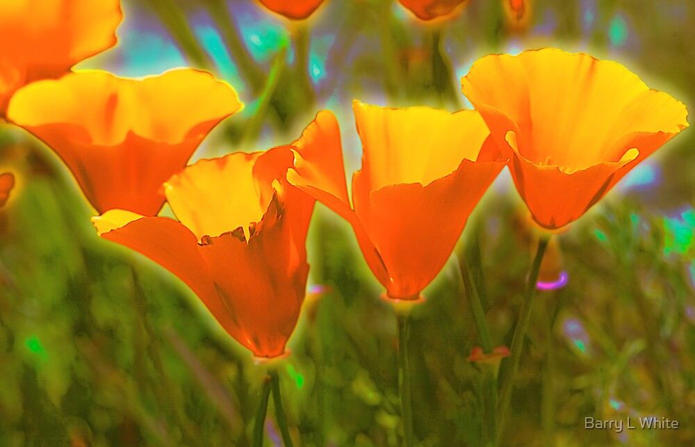 Glowing Poppies by Barry L White