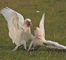 Long Beak Corellas by Richard  Windeyer