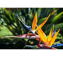 A Bird of Paradise Photographic Print