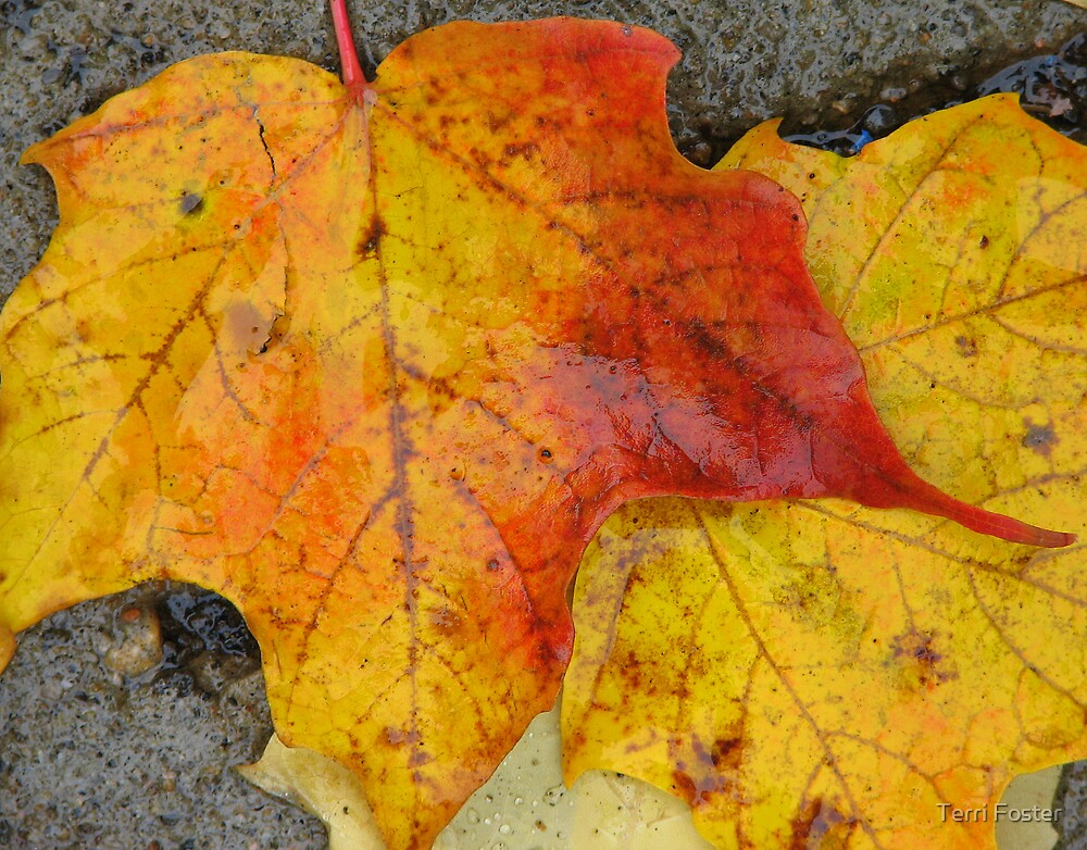 Fall Leaves - Quebec by Terri Foster