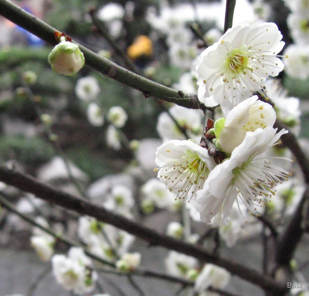 Plum blossom by Basil