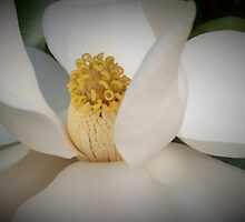 Magnolia macro by ♥⊱ B. Randi Bailey