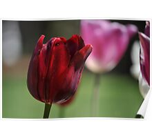 Deep Red Tulip Poster