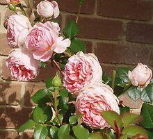Pink David Austen Rose - - My favourite. by lettie1957