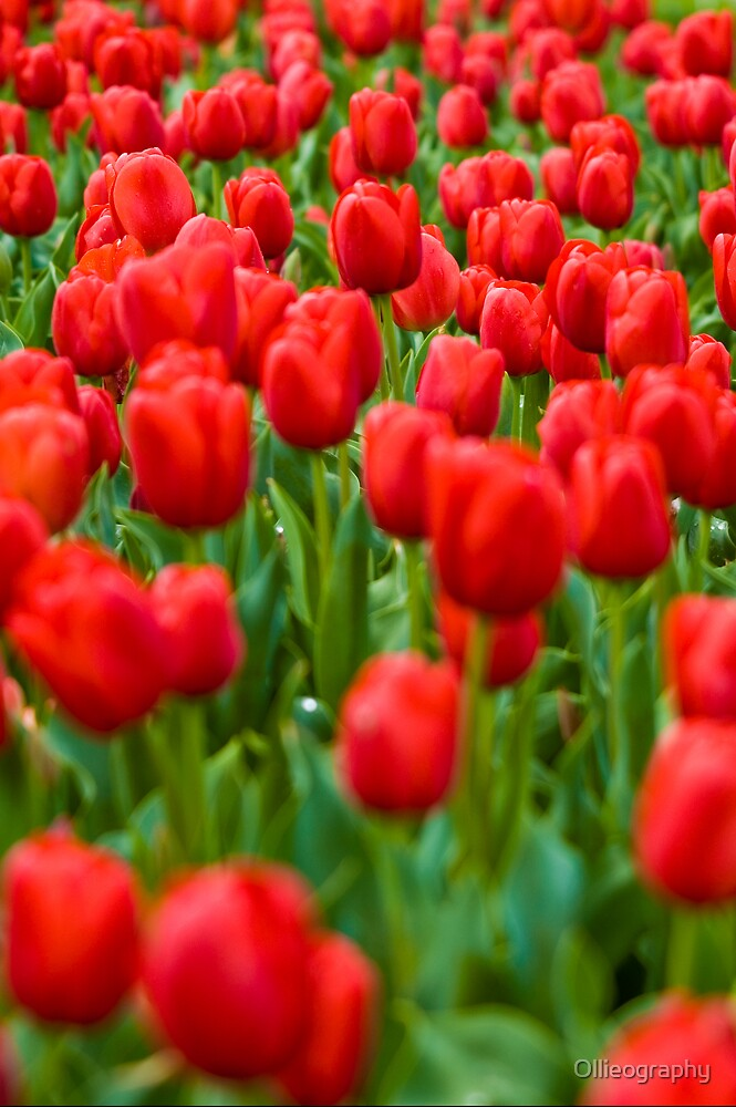 Tulips#8 by Ollieography