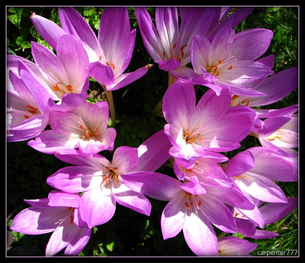 Pink flower by carpenter777