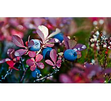 blueberry in the autumn. Photographic Print