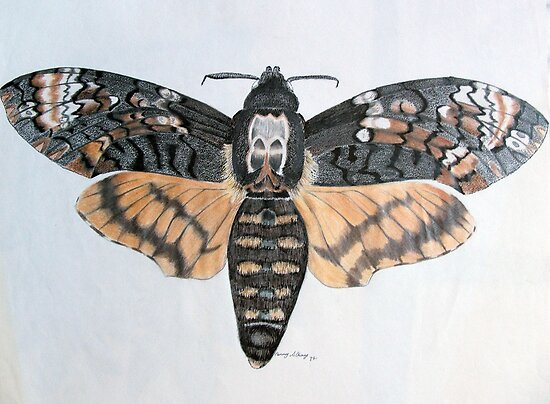 Deaths Head Hawkmoth by Penny Edwardes