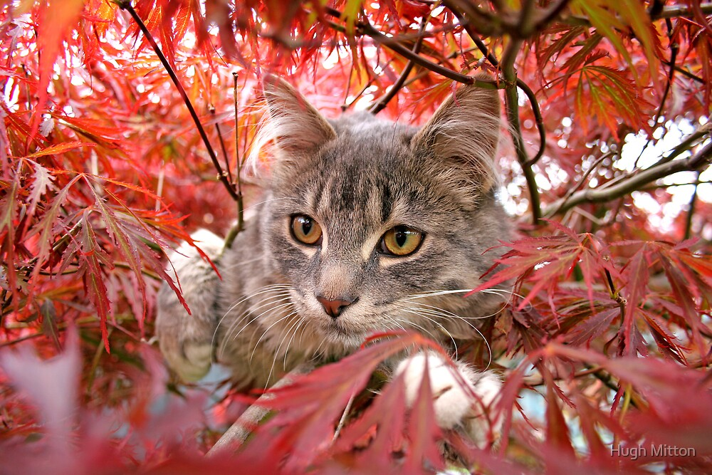 Cat in the Maple by Hugh Mitton