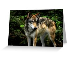 Curious Wolf (Canis lupus) Greeting Card
