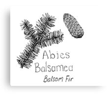 Balsam Fir Canvas Print