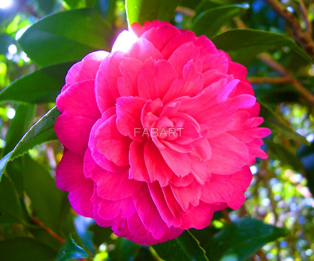 Camellia by FABART