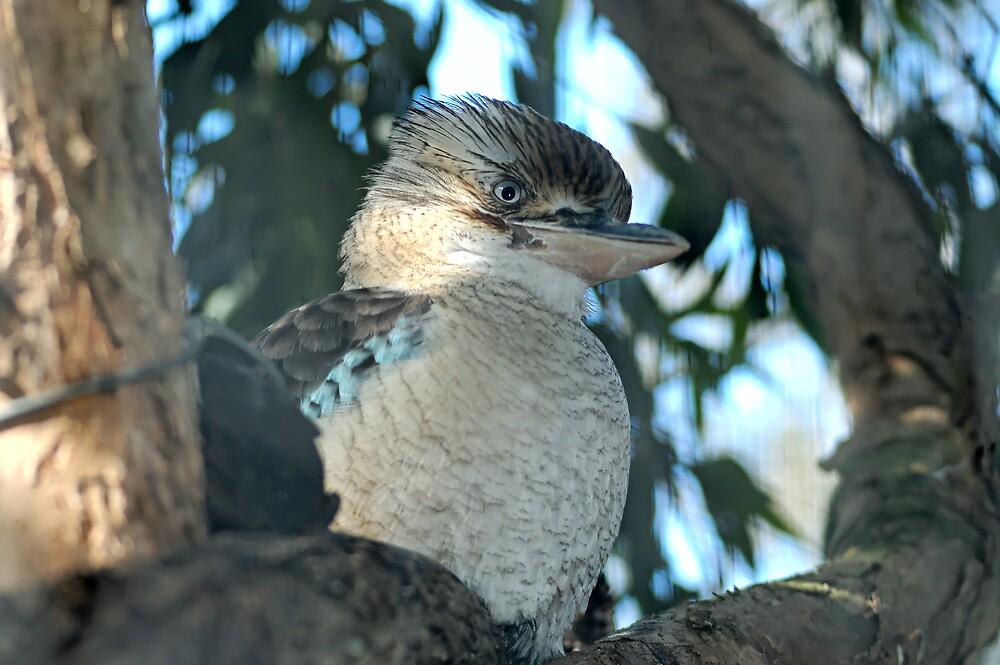 Kookaburra by J Harland