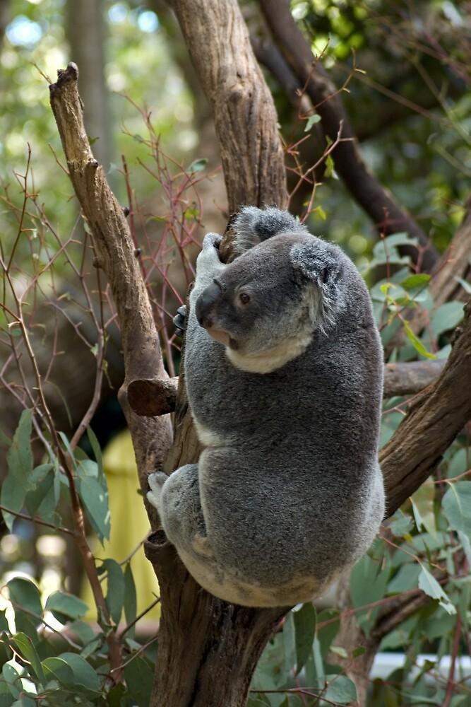 Koala by J Harland