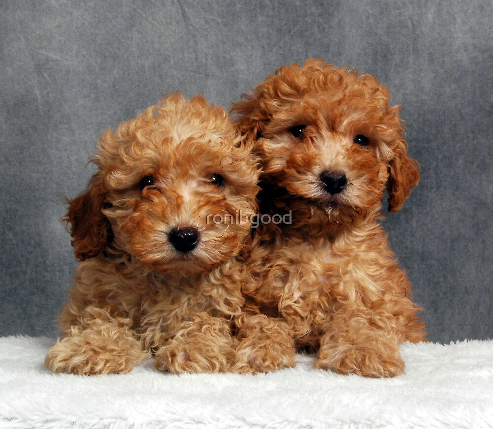 Puffy Poodle Pups by ronibgood