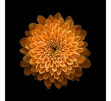 Chrysanthemum  Photographic Print