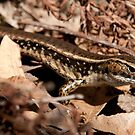 Eastern Water Skink, Lane Cove National Park, Sydney by Erik Schlogl
