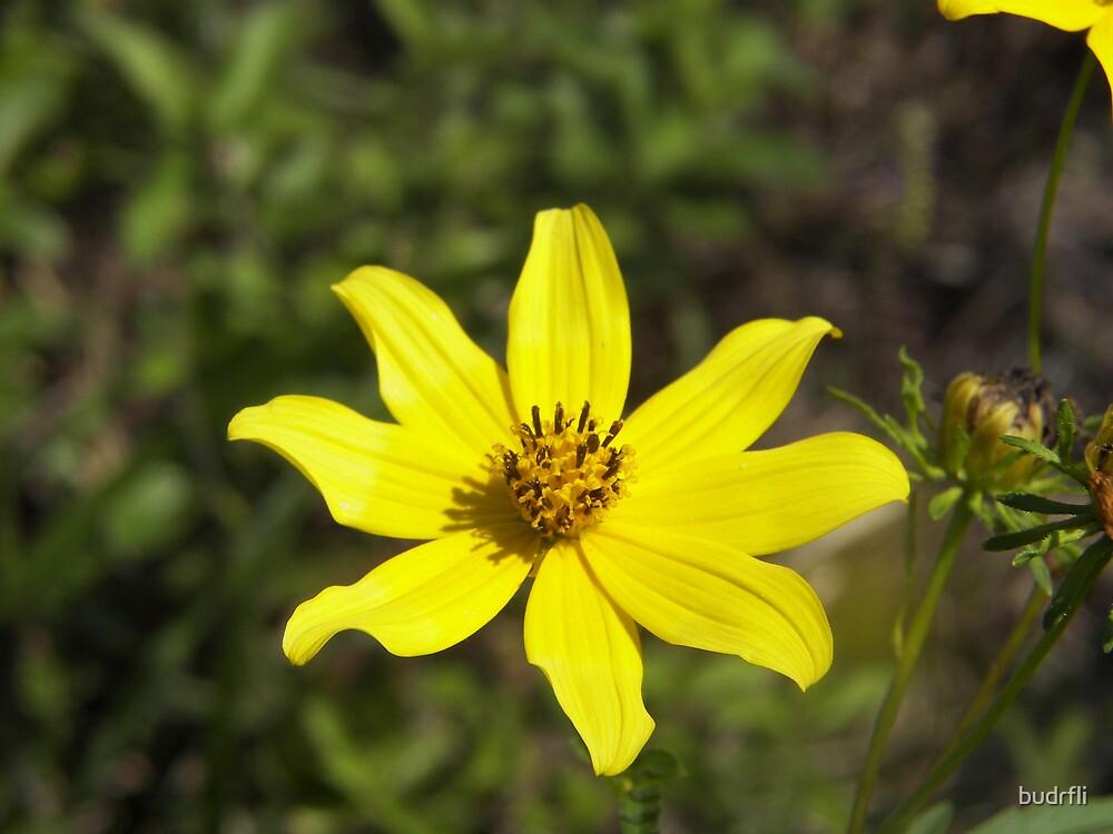 wildly yellow by budrfli