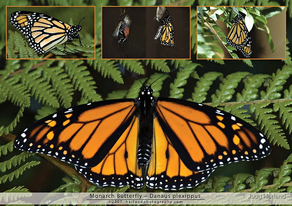 Monarch Butterfly by J Harland