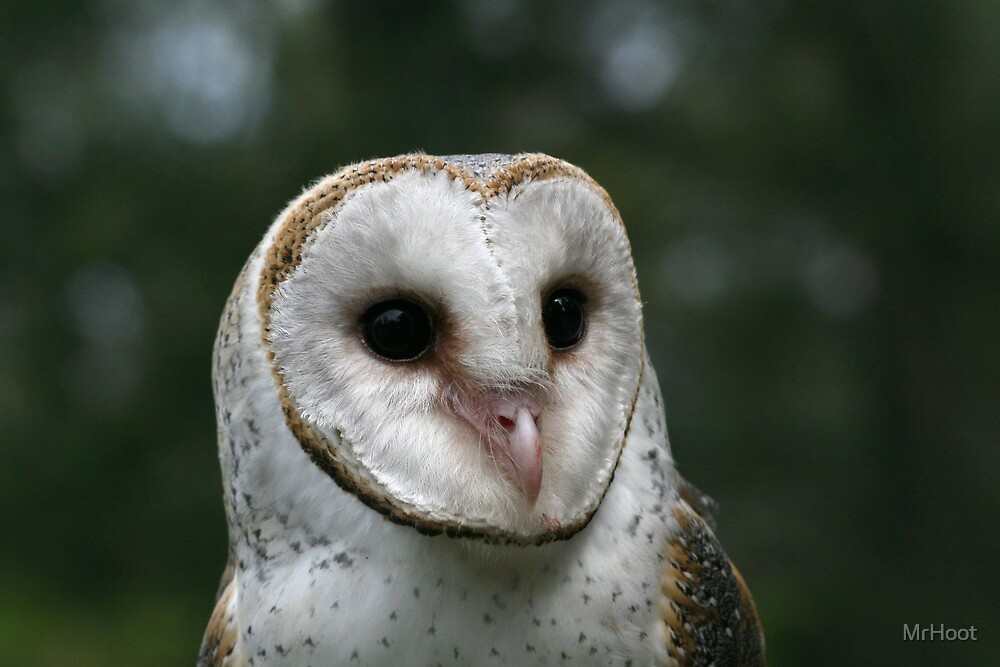Barn Owl Face by MrHoot