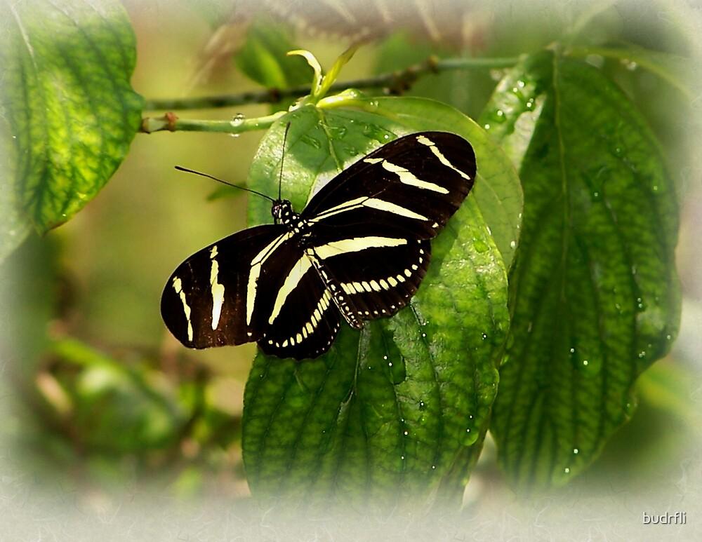 softly winged by budrfli