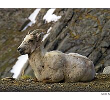 Rocky Mountain Big Horn Sheep by John  De Bord Photography