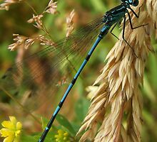 Common Blue Damsel Fly by Pauline Jones