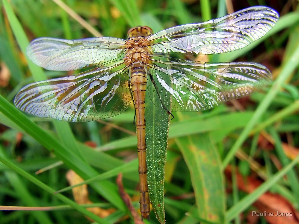 Dragonfly Sympetrum Striolatum. by Pauline Jones