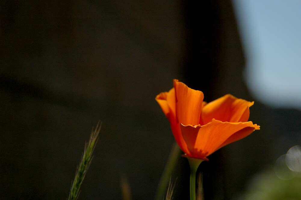 Lone Poppy by Daniel Nicolas