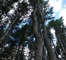 Tall Trees Looking Up by bunnij
