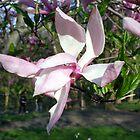 Central Park Magnolia by tachamot