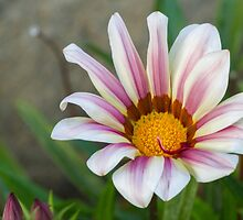 aster in garden by spetenfia