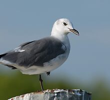 Seagull at Cypremort Point by Bonnie T.  Barry