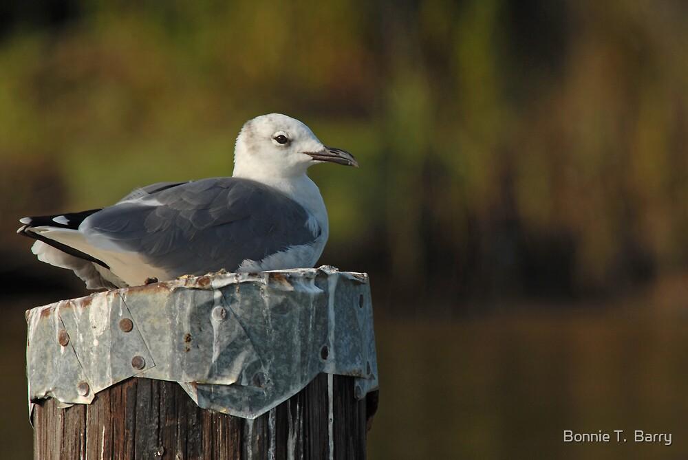 Seagull Sitting Pretty by Bonnie T.  Barry