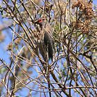 Red-faced mousebird by Maree  Clarkson