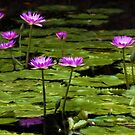 Waterlilies at Mt. Coot-tha by Celeste Mookherjee