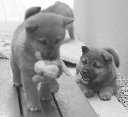 Shiba Pupz by Persephoni