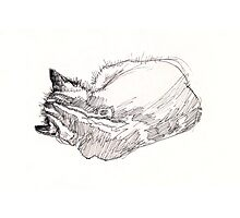 Sleeping kitten, original ink drawing Photographic Print