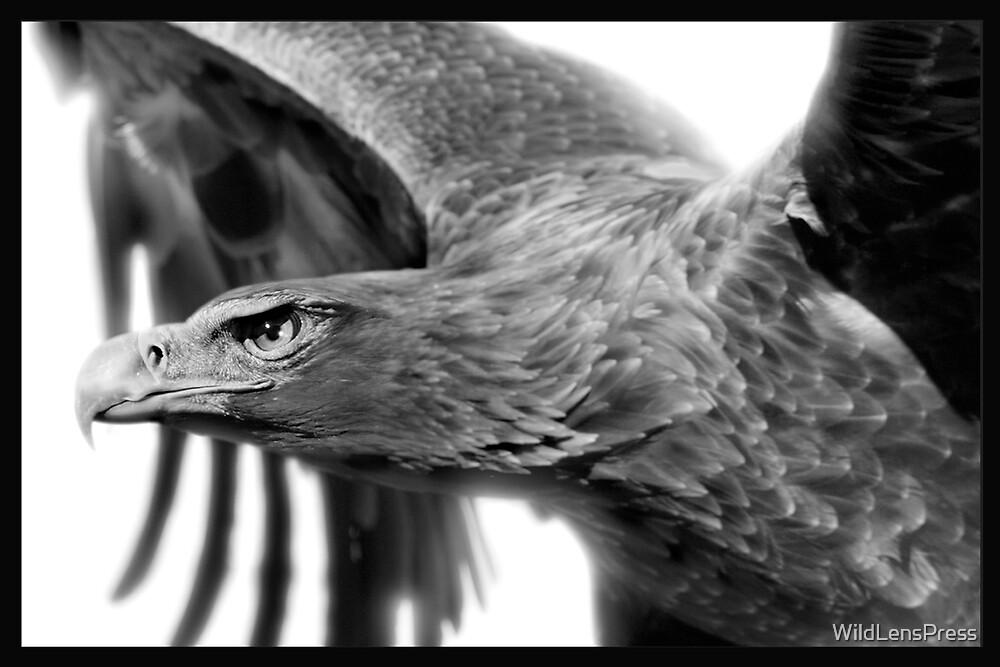 Wedge-tailed Eagle : Aquila audax by WildLensPress