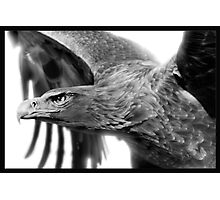 Wedge-tailed Eagle : Aquila audax Photographic Print