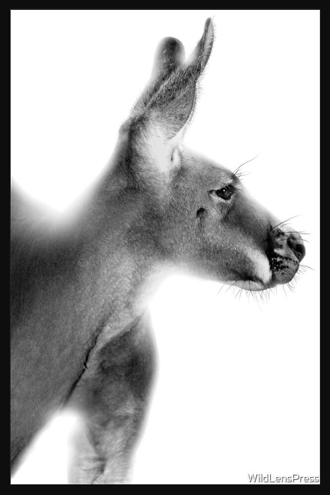 Red Kangaroo : Macropus rufus by WildLensPress